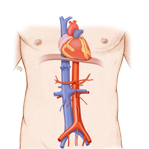 الشريان الأورطي / IVC: وحدة التشريح وعلم وظائف الأعضاء