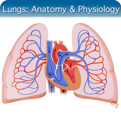 Online Ultrasound Course for Lungs: Anatomy & Physiology Module