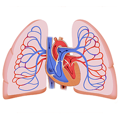 Lung: Anatomy and Physiology Module