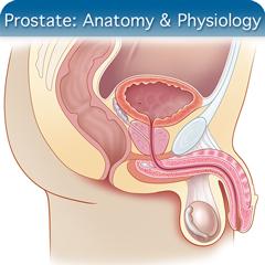 Curso de ultrasonido en línea para próstata: módulo de anatomía y fisiología