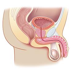 Простата: модуль анатомии и физиологии