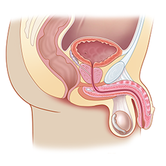 Prostate: module d'anatomie et de physiologie