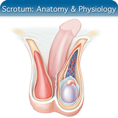 Online Ultrasound Course for Scrotum: Anatomy & Physiology Module