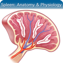 Online Ultrasound Course for Spleen: Anatomy & Physiology Module