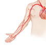Arm Arterielle Anatomie & Physiologie Ultraschall