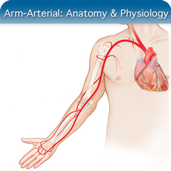 Online Ultrasound Course for Arm-Arterial: Anatomy & Physiology Module