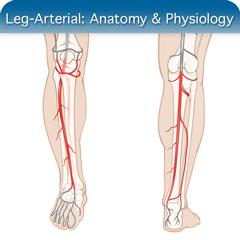 Online-Ultraschallkurs für Beinarterie: Anatomie & Physiologie Modul