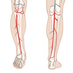 Jambe-artériel: module d'anatomie et de physiologie