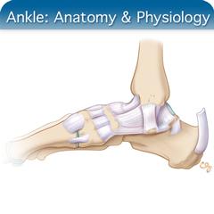 Cours en ligne sur l'échographie de la cheville: module d'anatomie et de physiologie