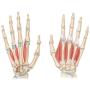 Curso de ultrasonido de manos y dedos