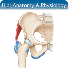 Online Ultrasound Course for Hip: Anatomy & Physiology Module
