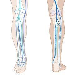 Leg-Venous: Module Anatomie & Physiologie