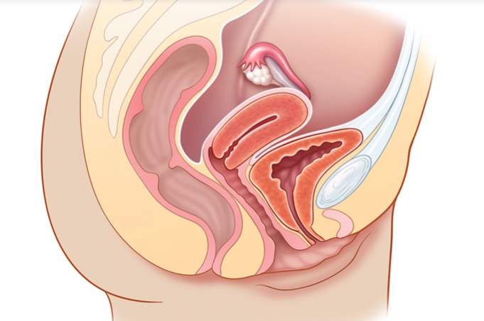 Novel Use Of Ultrasound To Teach Reproductive System Physical