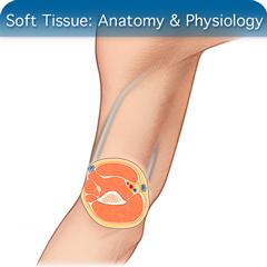 Soft Tissue Anatomy Ultrasound