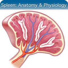Spleen Anatomy Course